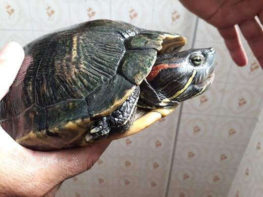 Tartaruga Tigre d'água fêmea estava no bairro Itararé