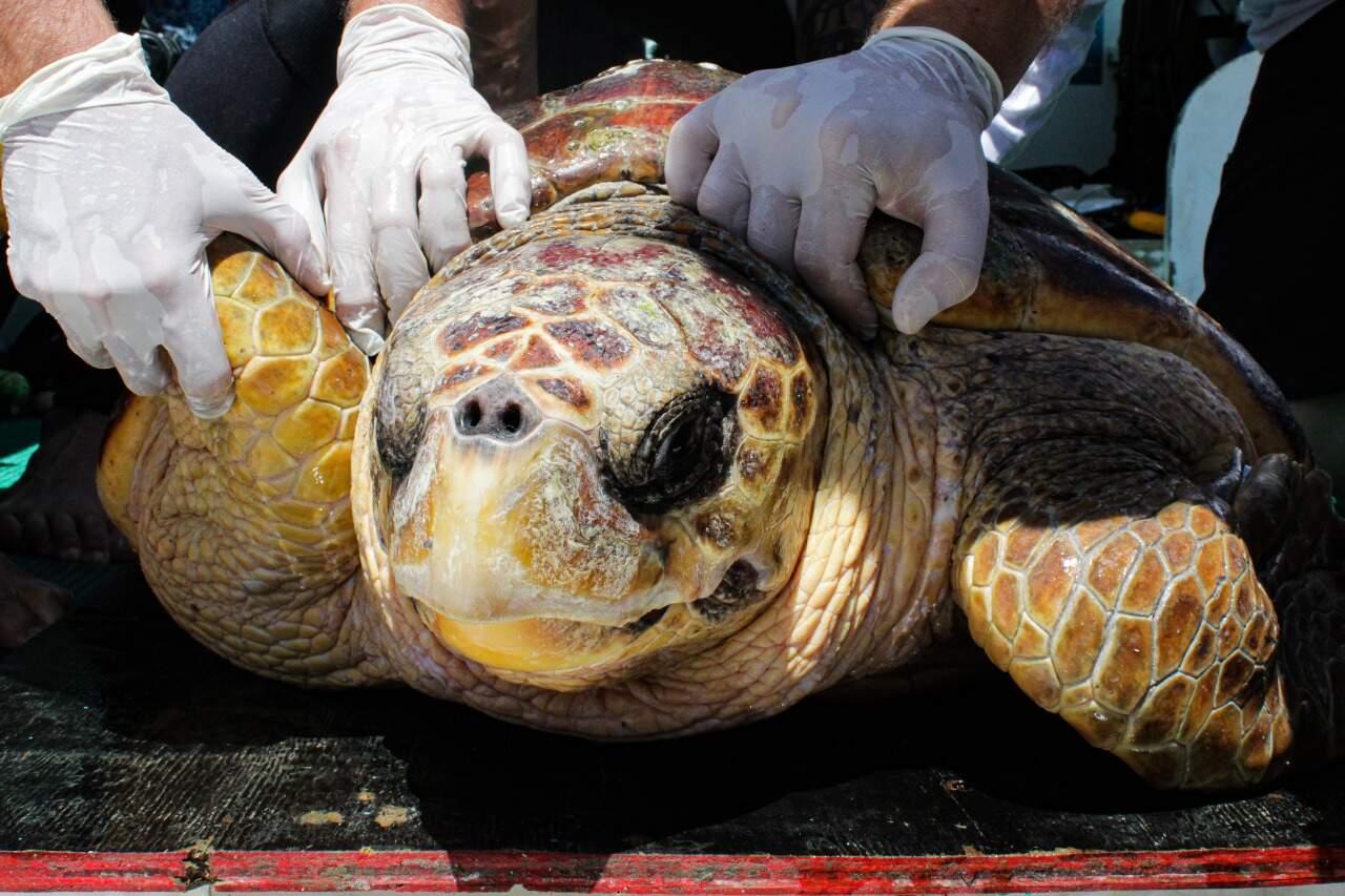 Tartaruga-cabeçuda estava com anemia severa quando foi resgatada em Itanhaém, no litoral sul.
