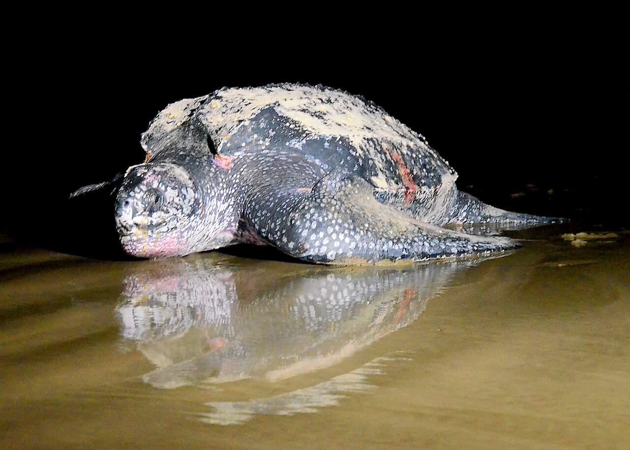 Tartaruga de espécie rara pode botar cerca de 100 ovos