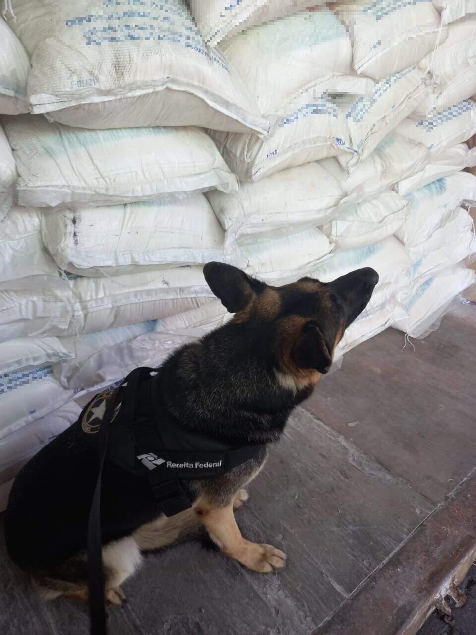 Cães farejadores foram utilizados para localizar a droga em carregamento no cais santista