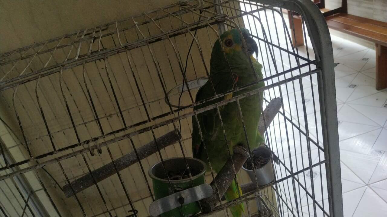 Papagaio foi flagrado por equipes da PM Ambiental, em Peruíbe
