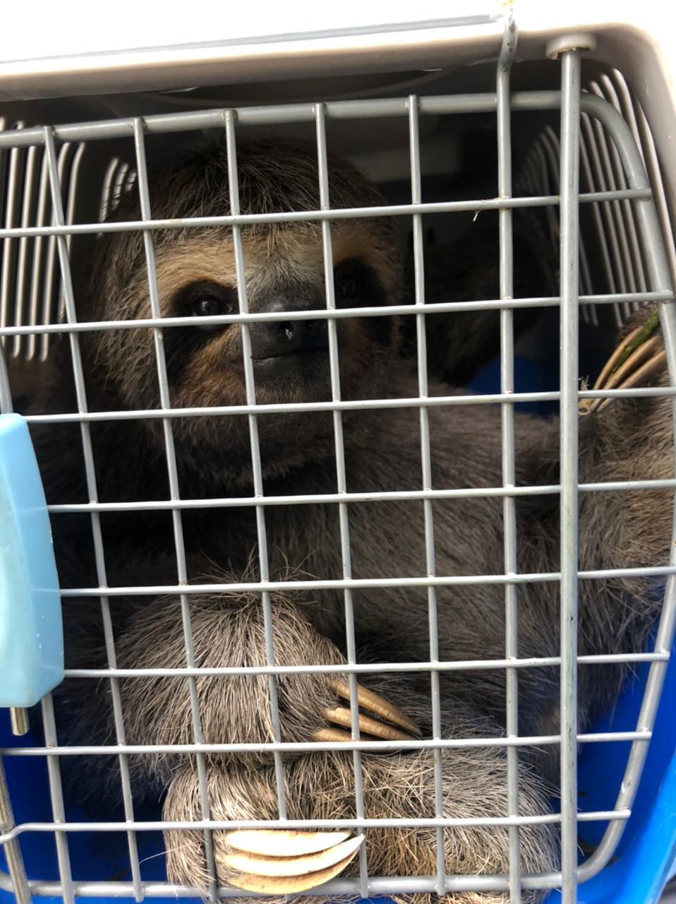 Bicho-preguiça passará por avaliação médica em São Vicente